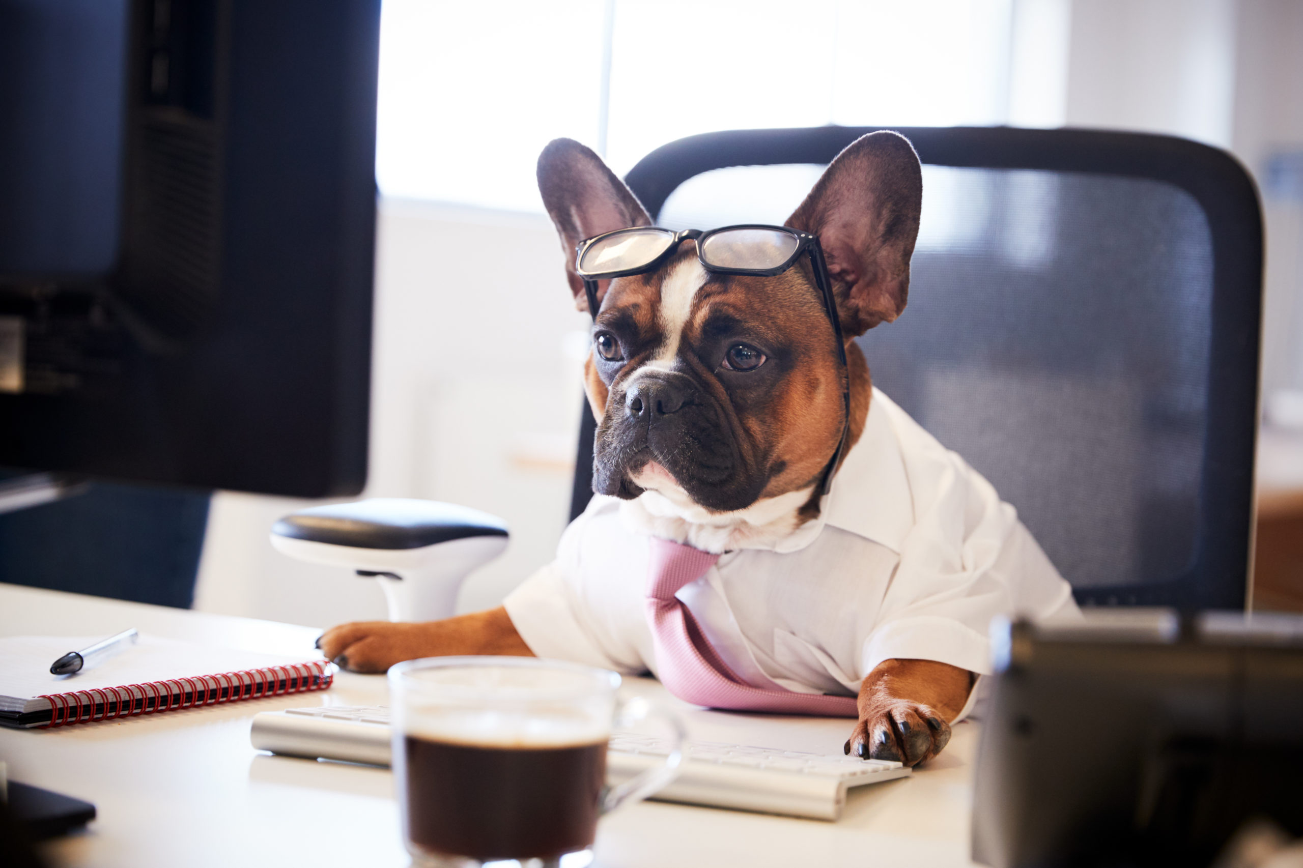French,Bulldog,Dressed,As,Businessman,Works,At,Desk,On,Computer